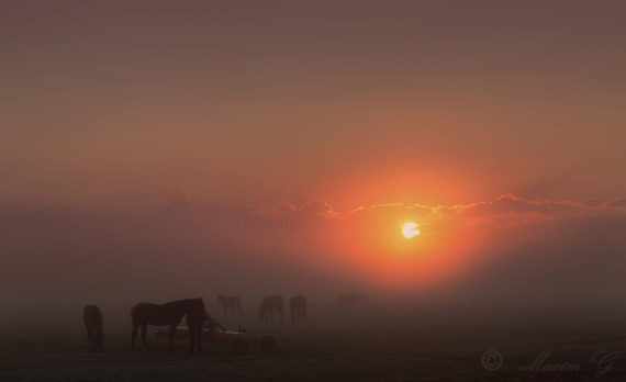 #Horses #dawn #canon #sunrise #fog